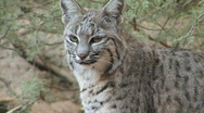Bobcat on Rock Looks at the Camera Stock Footage