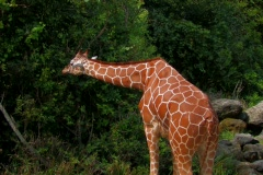 Giraffe eating in field Stock Footage