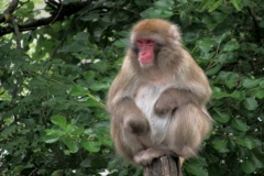 Japanese macaques monkey sitting on top of tree stump - stock footage
