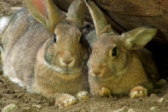 Two Small brown Rabbits  - stock footage