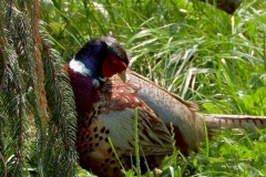 Colorful Pheasant in a grassy field. Close up. Stock Footage