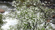 Stock Video Footage of Yosemite Dogwoods and the Merced River