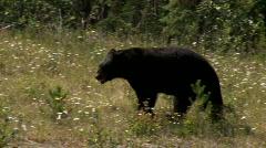 Black bear  Stock Footage