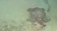 Stock Video Footage of large turtle1