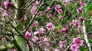 Stock Video Footage of Pink Flower Bush