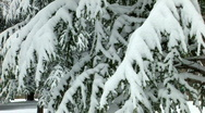 HD Spruce trees covered by snow  Stock Footage