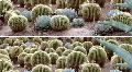 Cactus Panovision Footage