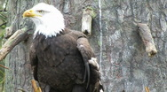 Stock Video Footage of Bald Eagle in nest 1-1