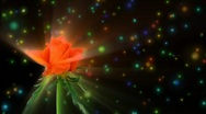 "Stock Video Footage of Montage of opening orange ""Lambada"" rose 3 alpha matte"