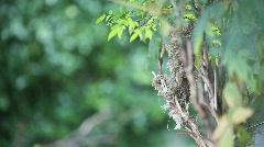 Hummingbird gathers nesting material Stock Footage