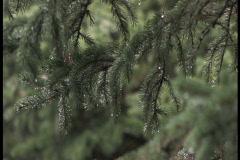 Raindrops on Pine Tree1 Stock Footage