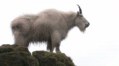 Mountain Goat leaps Stock Footage