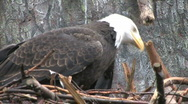 Stock Video Footage of Bald Eagle works on nest 1