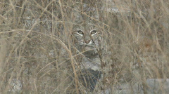 P00892 Bobcat in Tall Grass Stock Footage