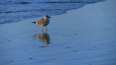 Seagull combs the beach (2 of 3) Stock Footage