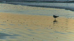 Seagull combs the beach (1 of 3) Stock Footage