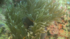 Cinnamon clownfish, Amphiprion melanomas in an anemone in the Philippines Stock Footage