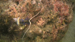 Colorful Lobster on a reef in the Philippines Stock Footage