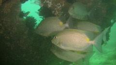 Gold-saddle rabbitfish (siganus guttatus) Stock Footage