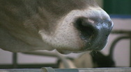 Stock Video Footage of Cow chews cud.