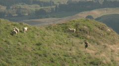 runner uphill passes sheep - stock footage