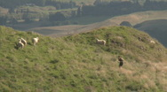 Stock Video Footage of runner uphill passes sheep
