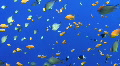 Colourful tropical fish - blue background HD Footage