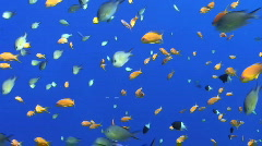 Stock Video Footage of Colourful tropical fish - blue background