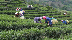 Thailand: Picking Tea Stock Footage