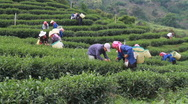 Stock Video Footage of Thailand: Picking Tea