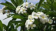 White Plumeria in Hawaii Stock Footage