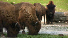 Wood Bisons Stock Footage
