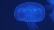 Moon jellyfish drifting. Stock Footage