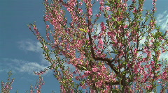 Pink Fruit Blossoms- Peach Stock Footage