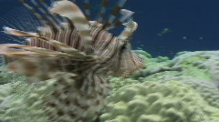 Lion fish in ocean swell - side view close up Stock Footage