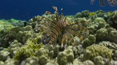 Lion fish hunting in ocean swell Stock Footage