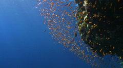 Lyretail anthias close to coral reef Stock Footage