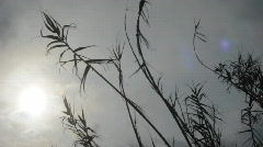 Reeds in wind Stock Footage