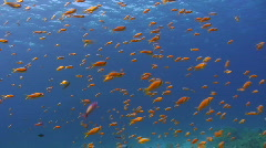 Lyretail anthias swimming in a strong current Stock Footage