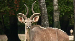 Greater Kudu Stock Footage