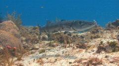 Barracuda Cozumel Stock Footage