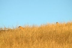 Monkeys stalking tourist hidden in the bush. Stock Footage