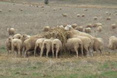 AUSTRALIA-SHEEP-FEEDING 1 Stock Footage