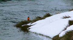 Red Robin Bird, Melting Snow, Flowing Mountain Stream, Spring Day Stock Footage
