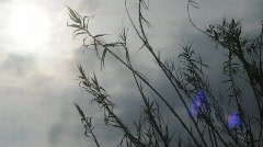 reeds in wind 2 - stock footage