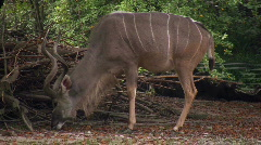 Stock Video Footage of Greater Kudu