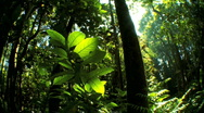 Stock Video Footage of Lush Green  Rainforest Flora with Audio