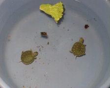 Trachemys scripta. Turtles Stock Footage