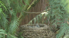 American Robin feeding babies birds in nest - stock footage