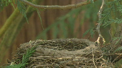 American Robin feeding babies birds in nest Stock Footage